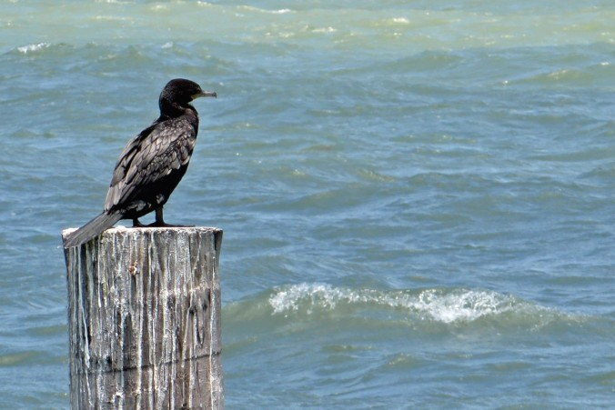 cropped-unidentified-black-sea-bird.jpg