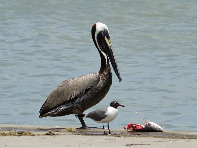 Pelican seagull and lunch 06-16-14