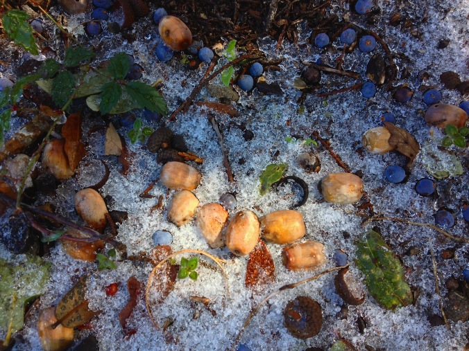 Acorns cedar berries ice 3-5-2015