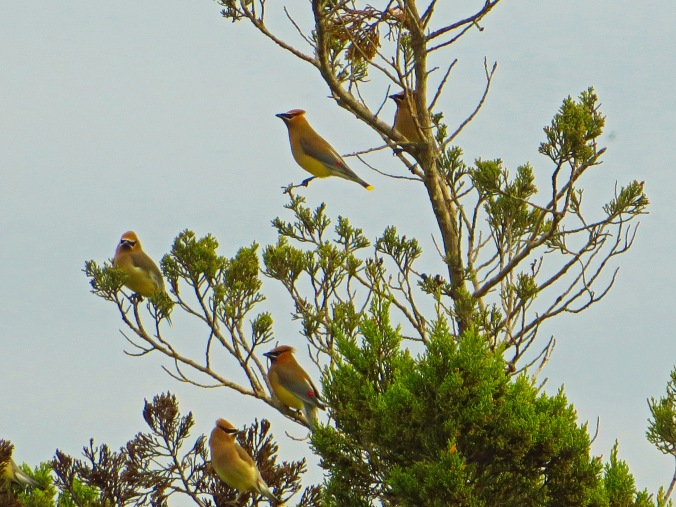 Flock cedar waxwings 1