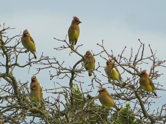 Flock cedar waxwings 3