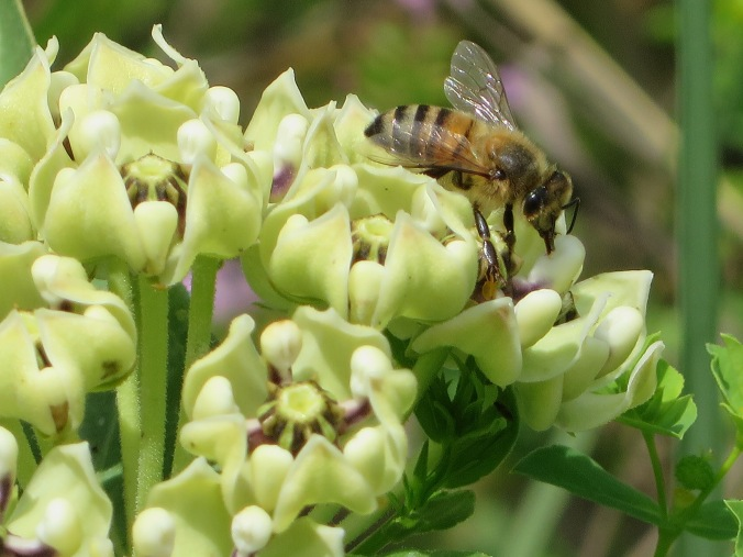 Bee on Milkweed close up
