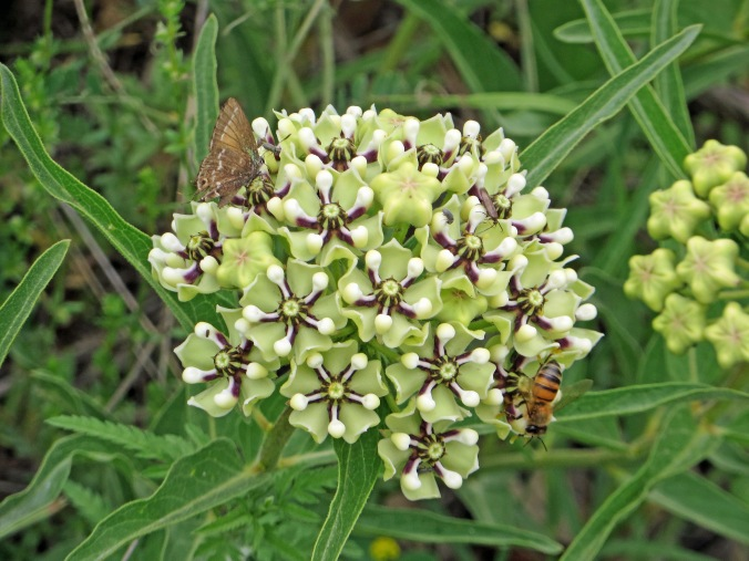 Butterfly  bee and other bugs on milkweed