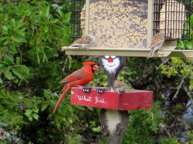 cardinal with mouth open on feeder