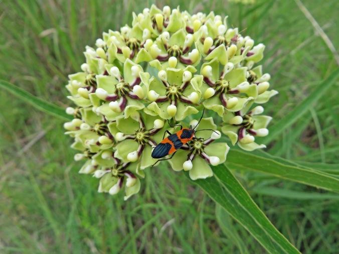 milkweed bug on milkweed 1