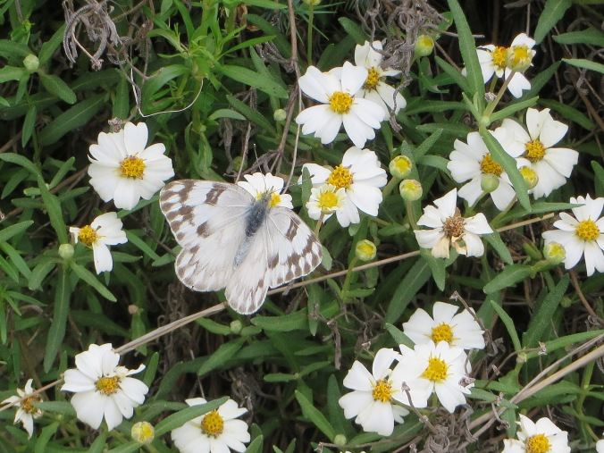 White butterfly on Blackfoot Daisy