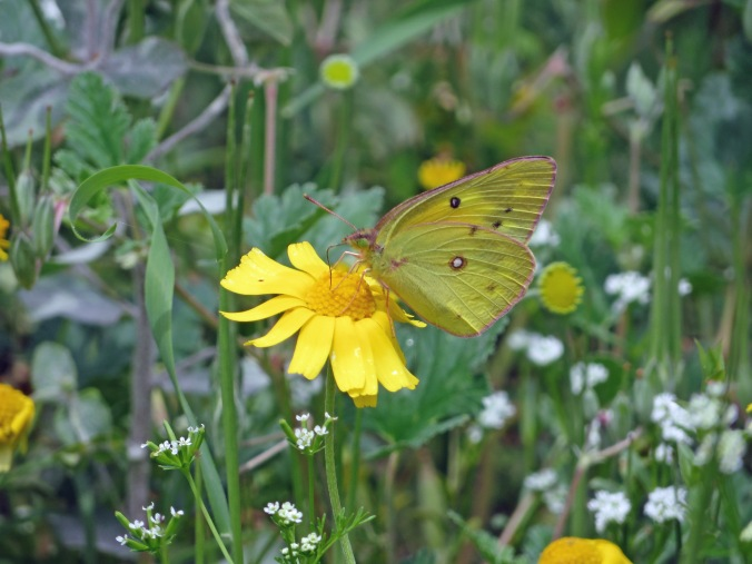 Yellow butterfly on yellow wildflower