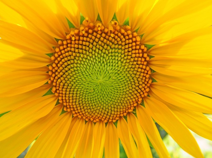cropped-close-up-sunflower.jpg