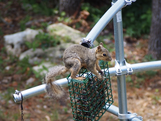 Squirrel on suet block.