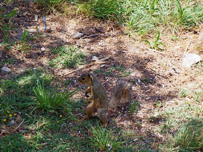 Maybe if I walk on two legs they won't notice me.  (This is not the squirrel you are looking for)