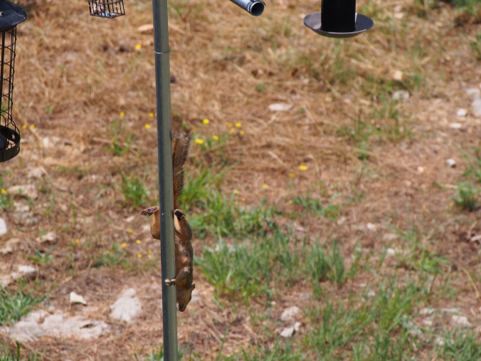Squirrel running down pole. Rather impressive.