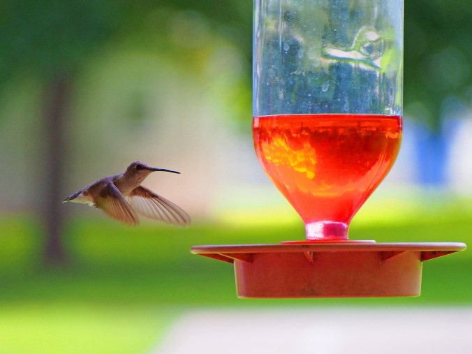 Hummingbird in flight eye on the Camera.