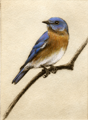 'Bluebird', Etching by Melanie Fain