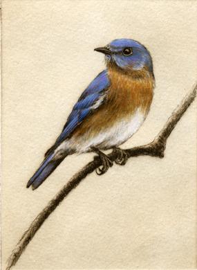 'Bluebird', Etching by Melanie Fain