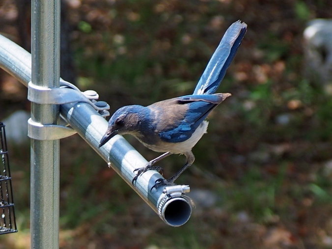 Scrub Jay on bird feeder structure