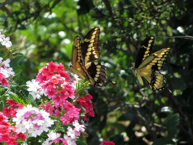 Side shot 2 butterflies IMG_7215