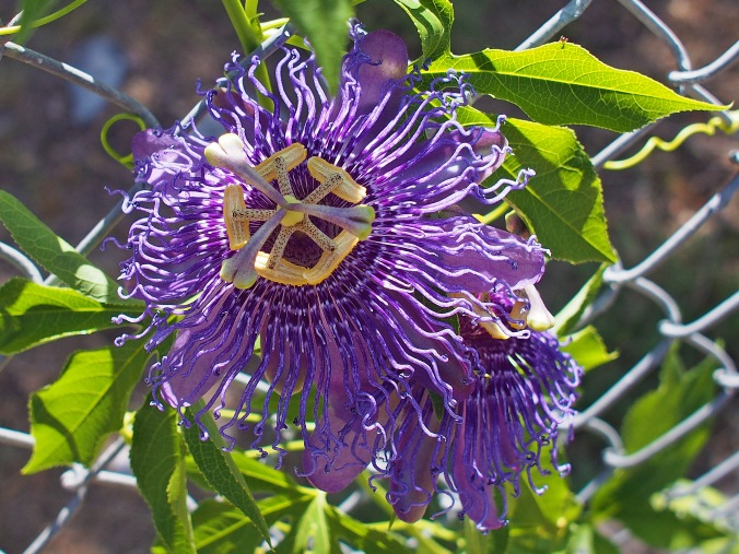 Passion Flower 'Incense' (Passiflora hybrid)