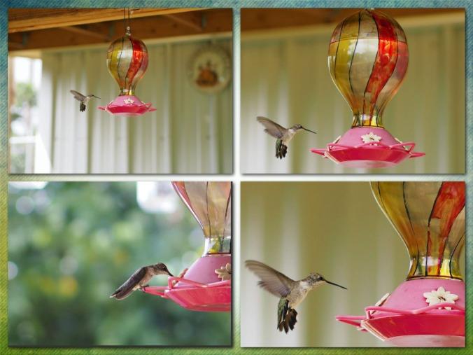 Hummingbird photo collage