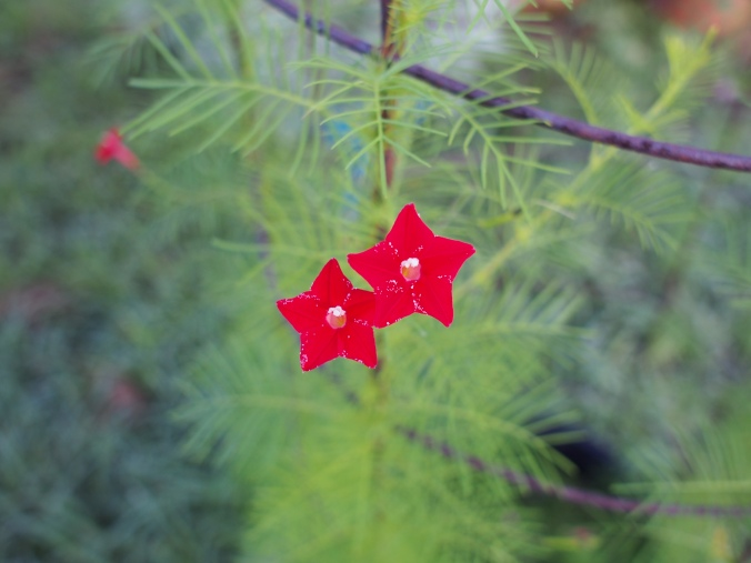 Close up of Cypress vine flower