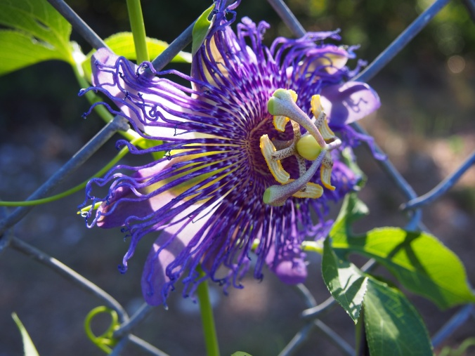 First Passion vine flower