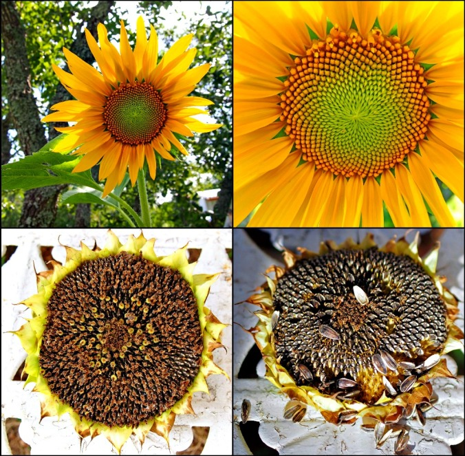Ribbet collage Sunflowers