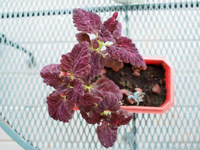 Black Dragon Coleus. Third times a charm.