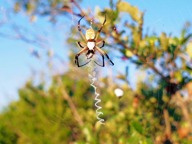 Garden spider wrapping up it's dinner.