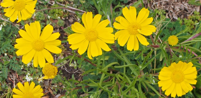 coreopsis lanceolata This little flower has been blooming in the center of our backyard for over a month.  It is like having a little spot of sunshine and happy.