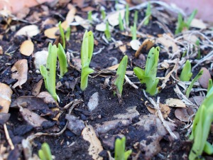 Emerging daylilies.  These are approximately 1/2 to one inch tall plants.