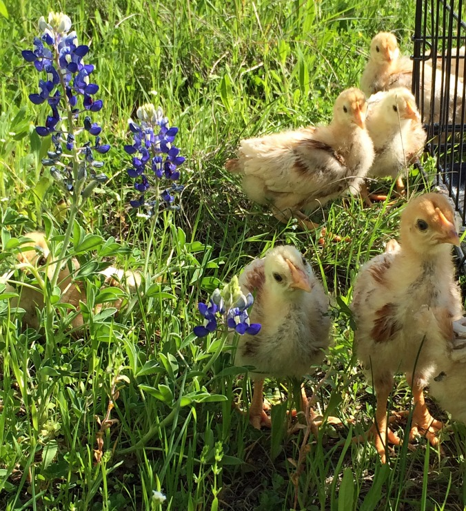 Chicks in the bluebonnets