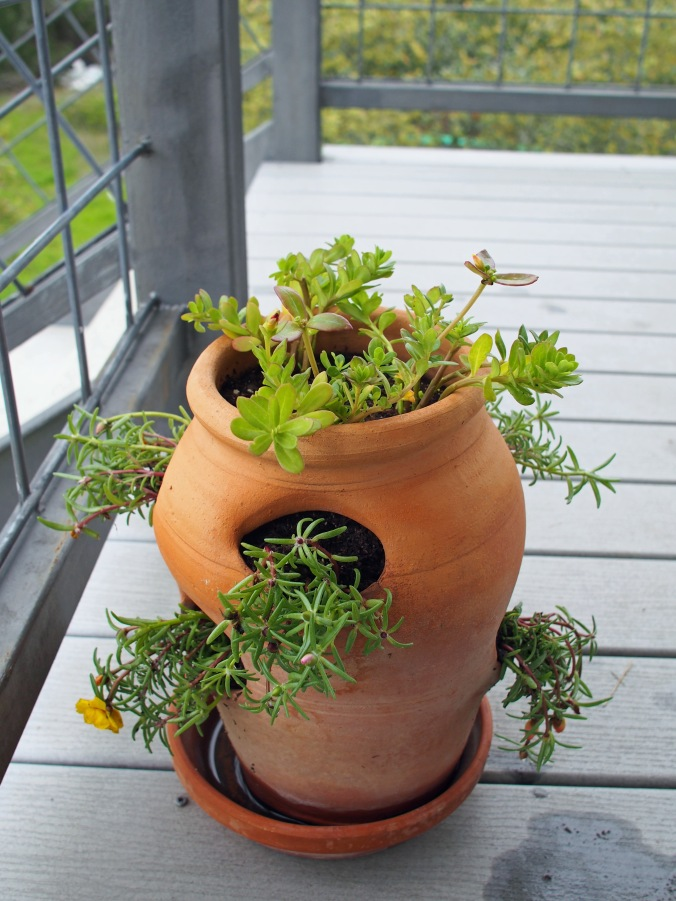 Portulaca in strawberry pot.