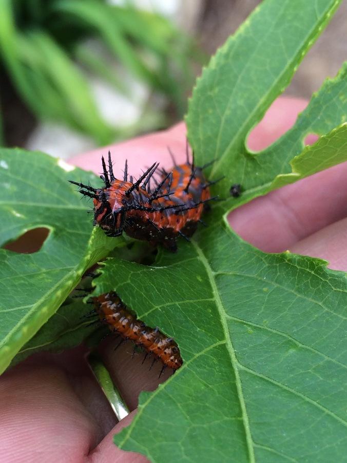 gulf fritillary (Agraulis_vanilla) caterpillar