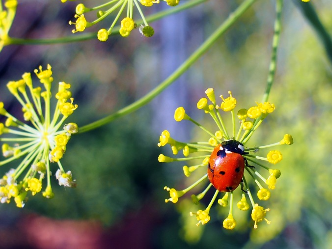 Lady bug on dill flowers