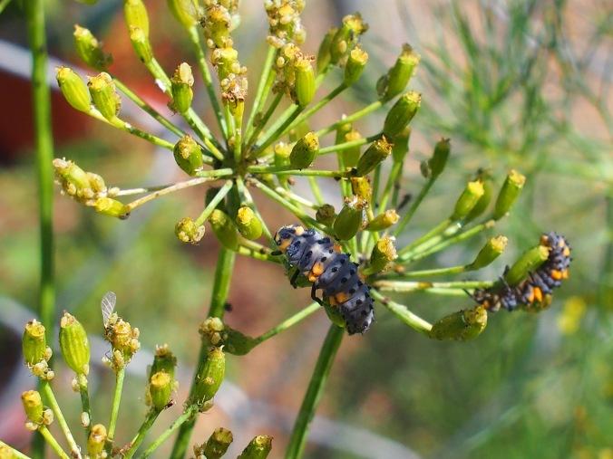 Ladybug larvae and aphids