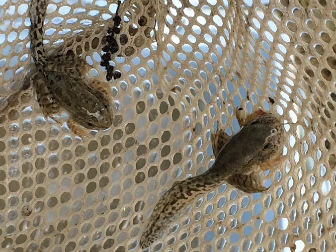 Tadpoles in net
