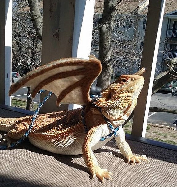 dragon-wings-for-your-bearded-dragon