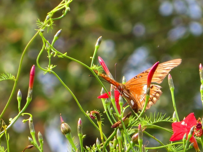 gulf-fritillary-on-cypress-vine-1-back
