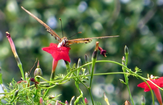 gulf-fritillary-on-cypress-vine-2-facing