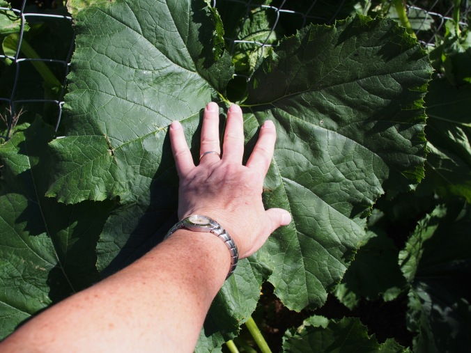 The leaves are huge.  I do not have small hands.