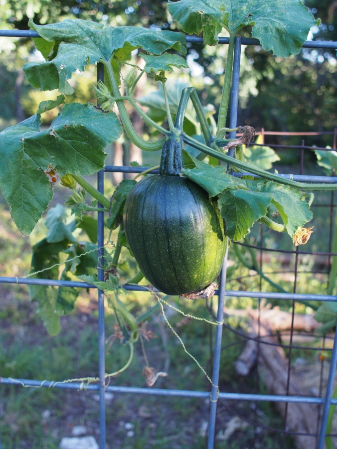 One of many small pumpkins on the vines.