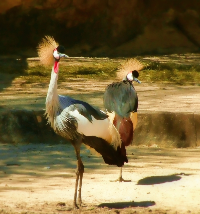 Zoo 31105 crested stork-2-Edit Topaz Painting venice-sharpen denoise and color overlay red cast spot blur-crop